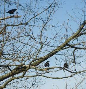 Three_crows_in_a_tree_in_Summit_NJ